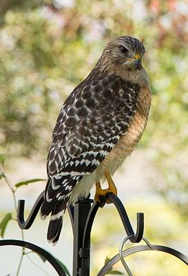 Photograph - Red Shouldered Hawk by John Black