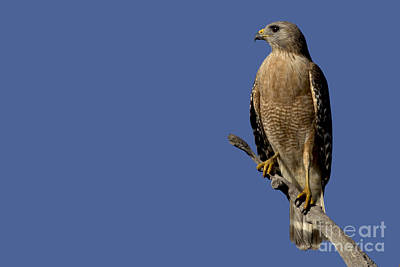 Photograph - Red-shouldered Hawk Photo by Meg Rousher