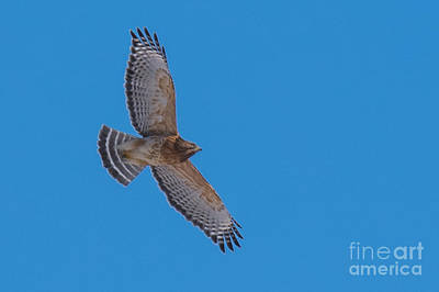 Photograph - Red-shouldered Hawk by Ronald Grogan