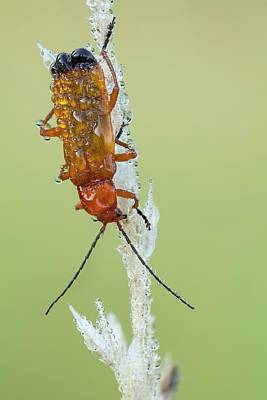 Beetle Photograph - Red Soldier Beetle by Heath Mcdonald