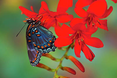Red-spotted Purple Butterfly, Limenitis Art Print