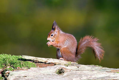 Red Squirrel Wall Art - Photograph - Red Squirrel by John Devries/science Photo Library