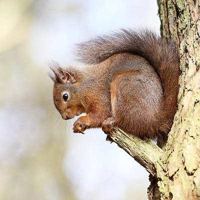 Photograph - Red Squirrel Portrait by Grant Glendinning
