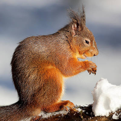 Photograph - Red Squirrel Scotland by Grant Glendinning