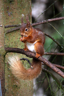 Red  Squirrel Art Print by Tom Gallacher