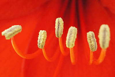 Photograph - Red Stamens by TK Goforth