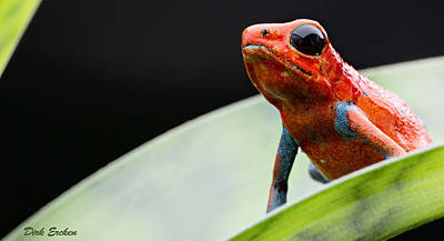 Panama Frog Photograph - Red Strawberry Poison Dart Frog by Dirk Ercken
