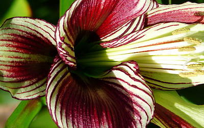 Photograph - Red Striped Lily by Jeff Lowe