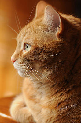 Orange Tabby Photograph - Red Tabby Cat by Renee Forth-Fukumoto