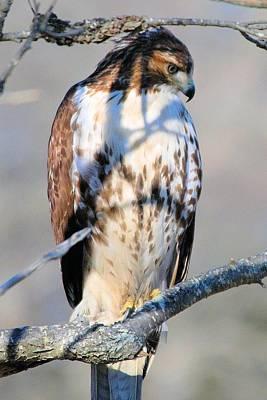 Red Tail Hawk 11 Original by Linda  Barone