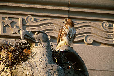 Red Tail Hawk Photograph - Red-tailed Hawk At Nest by Paul J. Fusco