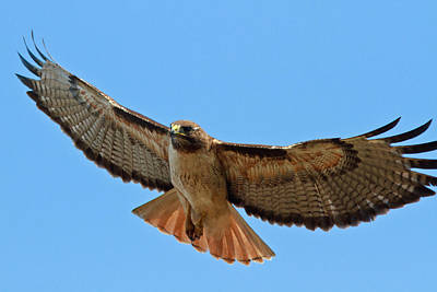 Red Tail Hawk Photograph - Red-tailed Hawk  by Carl Jackson