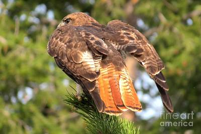Photograph - Red-tailed Hawk by Frank Townsley