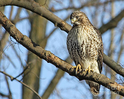 Antlers - Red Tailed Hawk by Jack Schultz