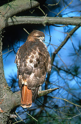Red Tail Hawk Photograph - Red-tailed Hawk by Paul J. Fusco