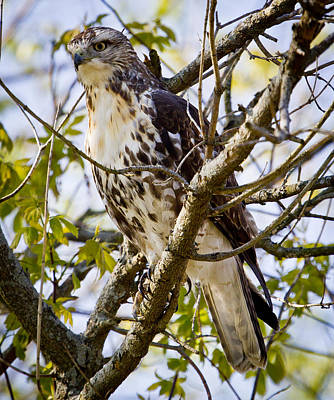 Art Print featuring the photograph Red Tailed-hawk by Ricky L Jones