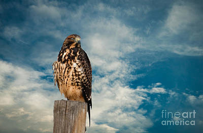 Photograph - Red-tailed Hawk by Robert Bales