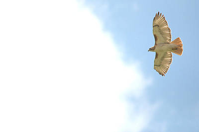 Red Tail Hawk Digital Art - Red-tailed Hawk Soaring Series 11 by Roy Williams