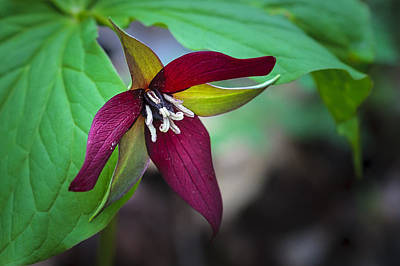 Photograph - Red Trillium by Jack R Perry