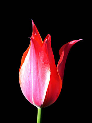Wall Art - Photograph - Red Tulip by Mickey Murphy