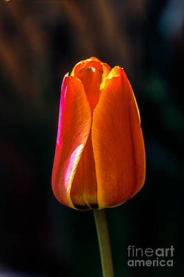 Red Tulip Print by Robert Bales