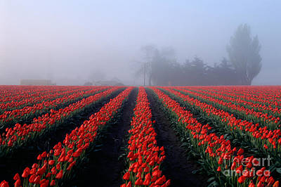Photograph - Red Tulips In Field by Jim Corwin