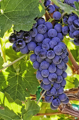 Red Wine Grapes Hanging On The Vine Original