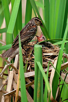 Nature Nesting Photograph - Red Wing Black Bird Feeding Young by David Northcott