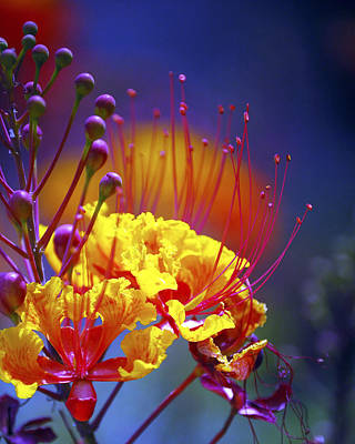 Jerry Sodorff Royalty-Free and Rights-Managed Images - Red Yellow Blossoms 10197 by Jerry Sodorff
