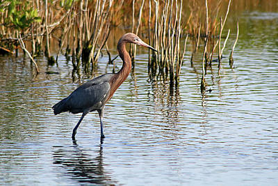 Photograph - Reddish Egret by Ira Runyan