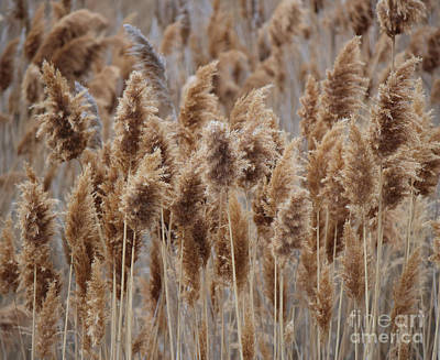 Wind Blown Redish Brown Plants Art Print