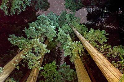 Redwood (sequoia Sempervirens) Trees Art Print