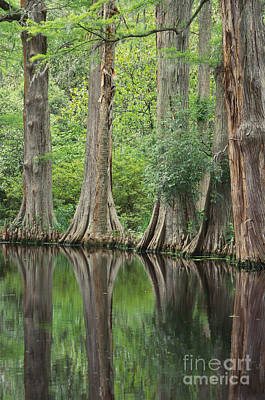 Cypress Swamp Photograph - Reflections Of Cypress Trees by Art Wolfe