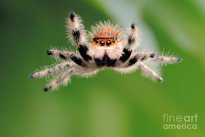 Photograph - Regal Jumping Spider Jumping by Scott Linstead