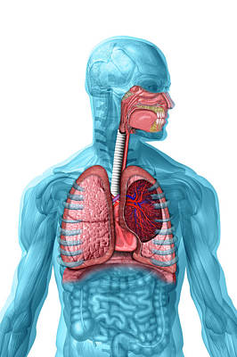 Respiration Photograph - Respiratory System by Carol & Mike Werner