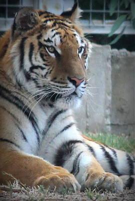 Zoo Photograph - Resting Tiger by Rebecca Davis