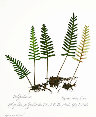 Resurrection Fern 2 Art Print