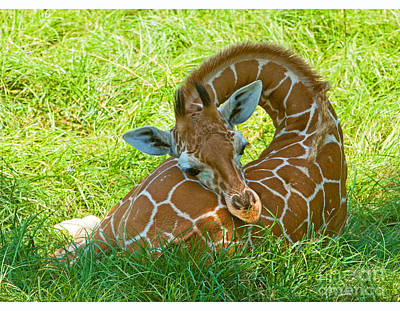 Photograph - Reticulated Giraffe 6 Week Old Calf by Millard H Sharp