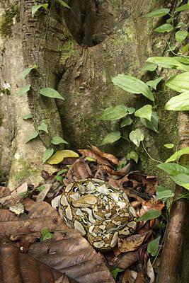 Python Photograph - Reticulated Python by Chris Mattison/FLPA