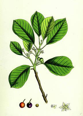 Berry Drawing - Rhamnus Frangula Berry-bearing Alder by English School