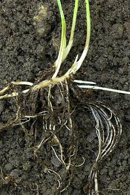 Rhizomes Of Couch Grass (elymus Repens) Art Print by Dr Jeremy Burgess