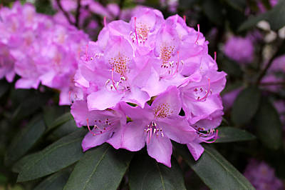 Photograph - Rhododendron  ' Roseum Elegans ' by William Tanneberger