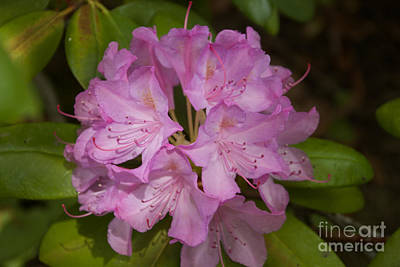 Photograph - Rhododendron by William Norton