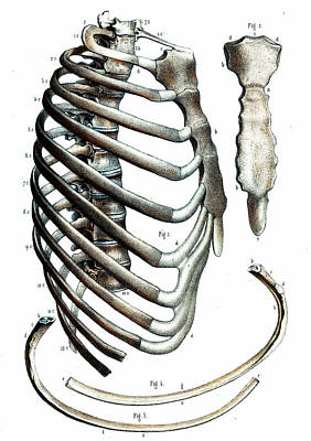 Cage Photograph - Rib Cage Anatomy by Collection Abecasis