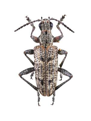 Longhorn Photograph - Ribbed Pine Borer Beetle by F. Martinez Clavel