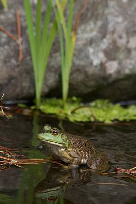 Photograph - Ribbit by Scott Holmes