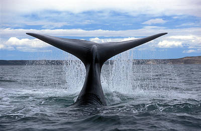 Valdes Photograph - Right Southern Whale by Javier Etcheverry
