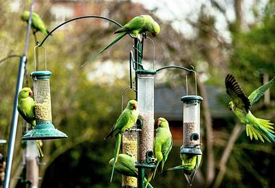 Parrot Photograph - Ring-necked Parakeets by Georgette Douwma