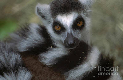 Photograph - Ring-tailed Lemur by Art Wolfe