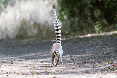 Ring-tailed Lemur Photograph - Ring-tailed Lemur by Dr P. Marazzi